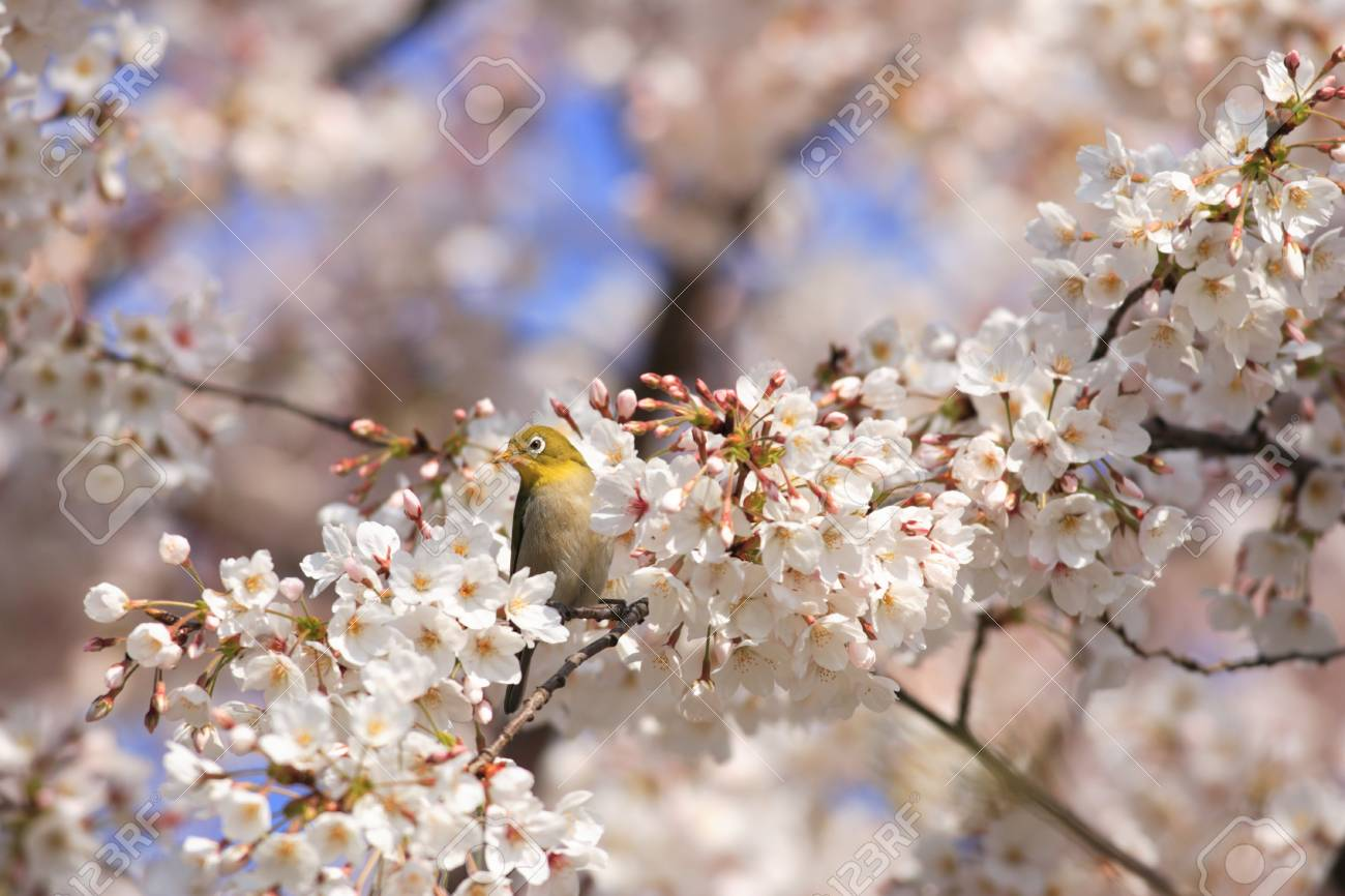 Japanese White Eye And Flower In Japan Stock Photo Picture And