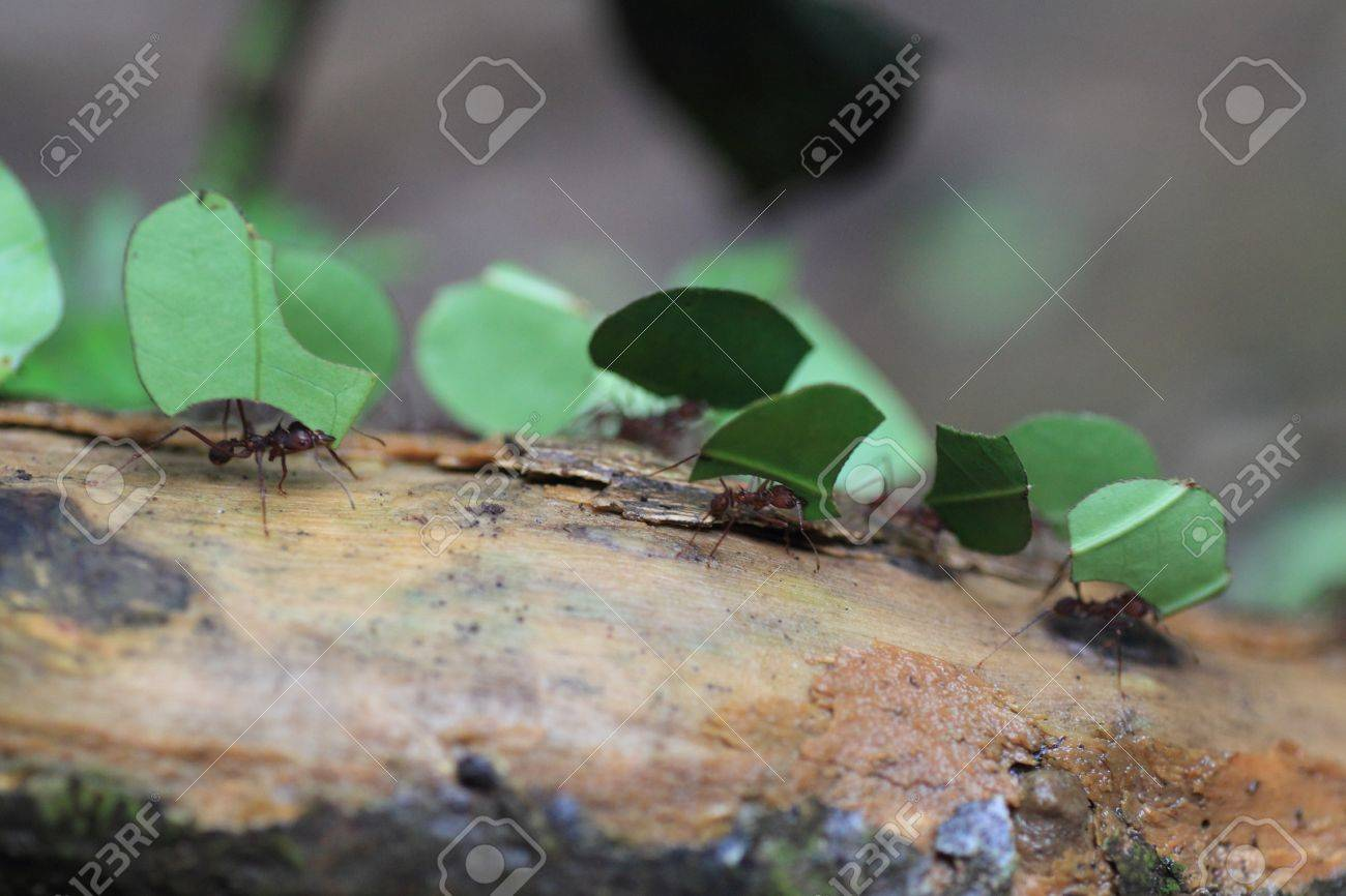 Leaf Cutting Ants Stock Photo - 22547665