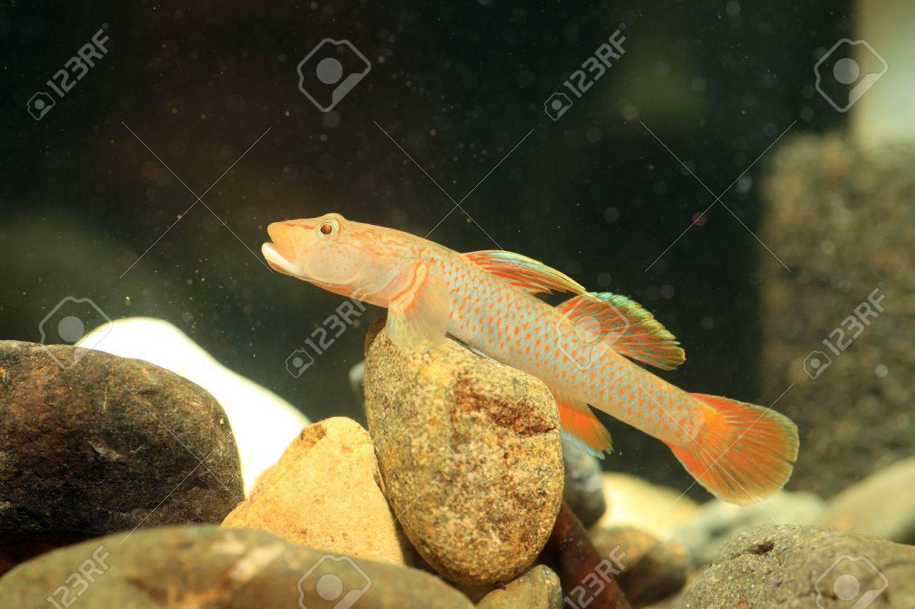 Freshwater aquarium fish gobiidae - Rhinogobius Flumineus Goby Fish In Japan Stock Photo 22086762