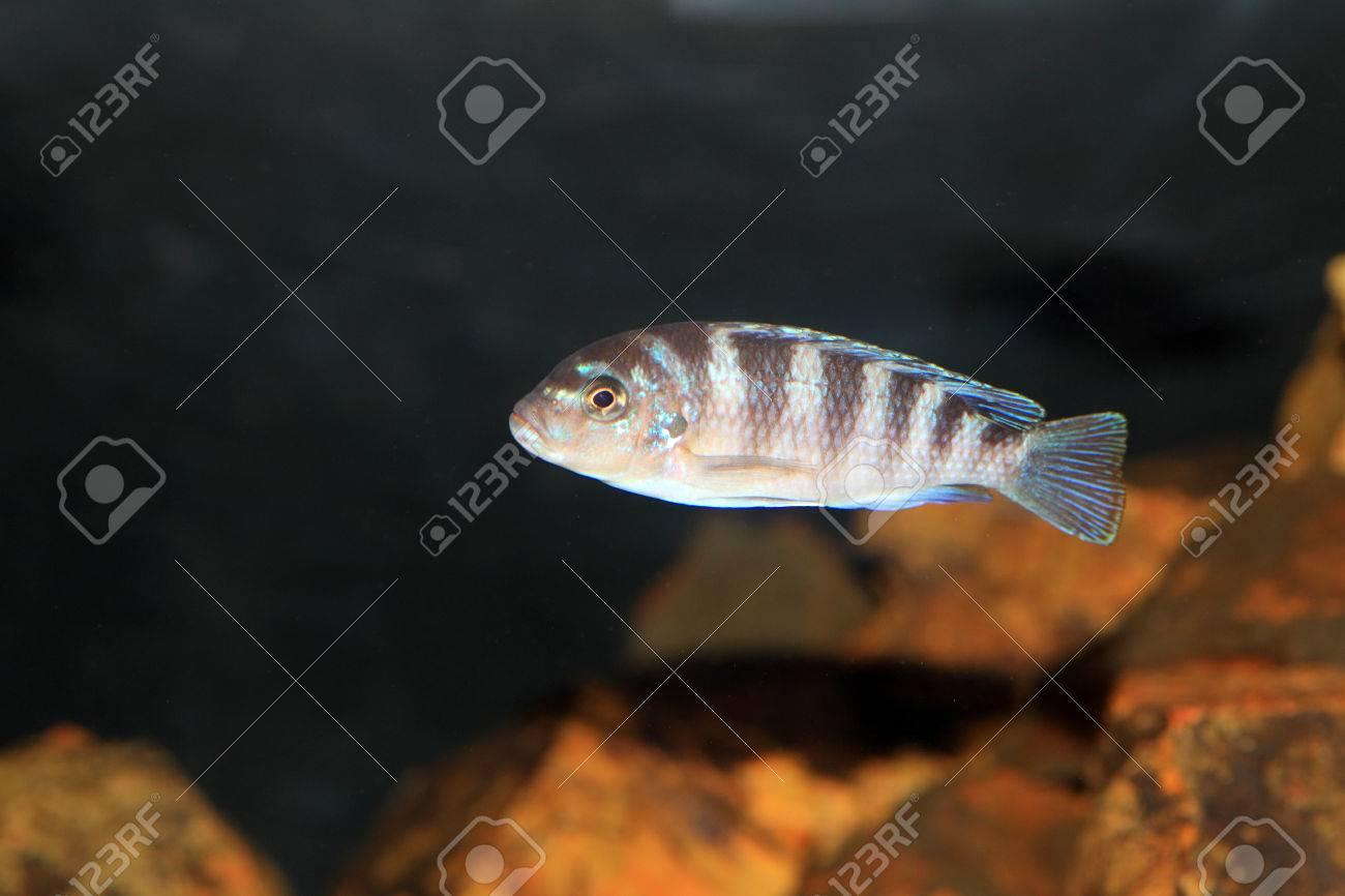 Cyphotilapia frontosa juvnule in Lake Tanganyika Stock Photo - 22588451