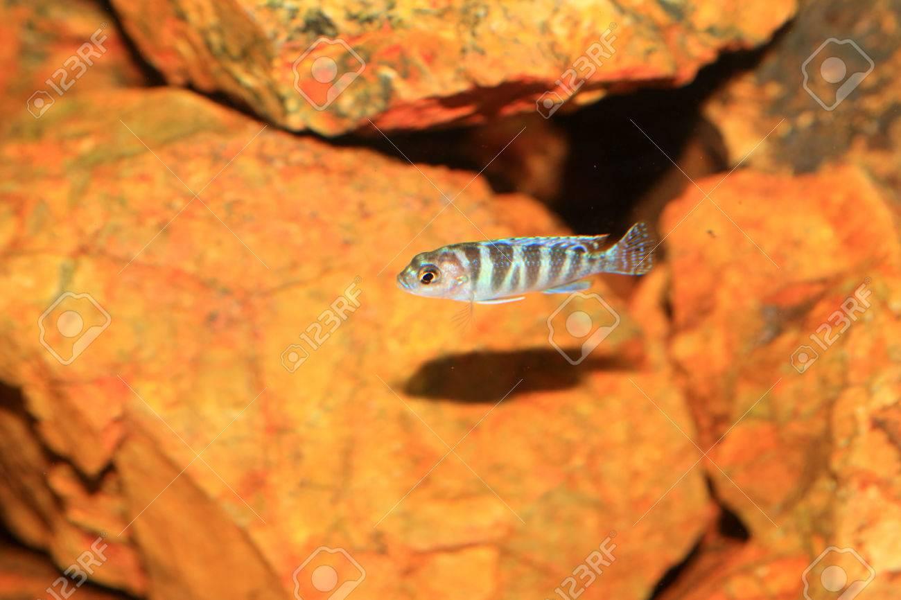 Cyphotilapia frontosa juvnule in Lake Tanganyika Stock Photo - 22588452