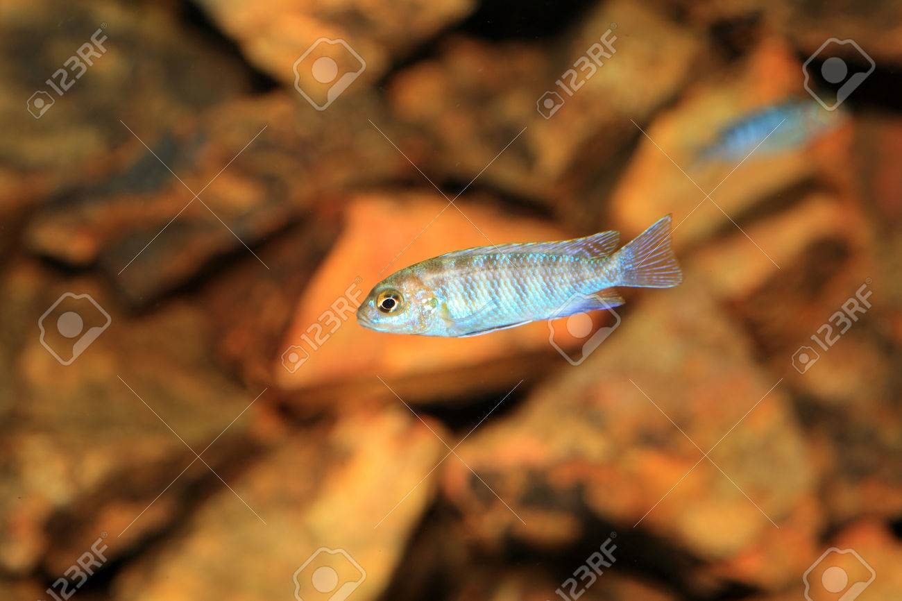 Cyphotilapia frontosa juvnule in Lake Tanganyika Stock Photo - 22588455