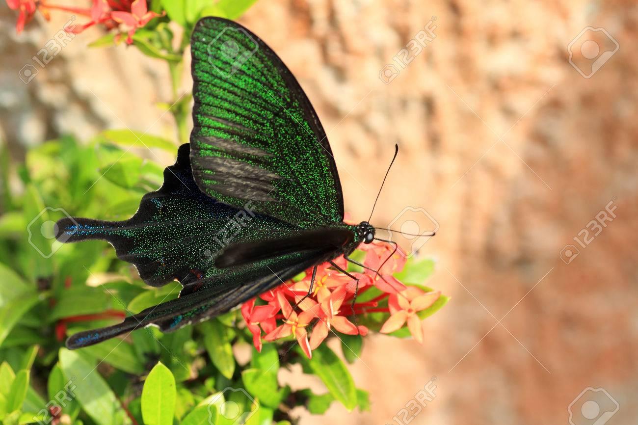 Sưu tập Bộ cánh vẩy 2 - Page 67 23578290-ryukyu-black-peacock-butterfly-papilio-okinawensis-in-japan