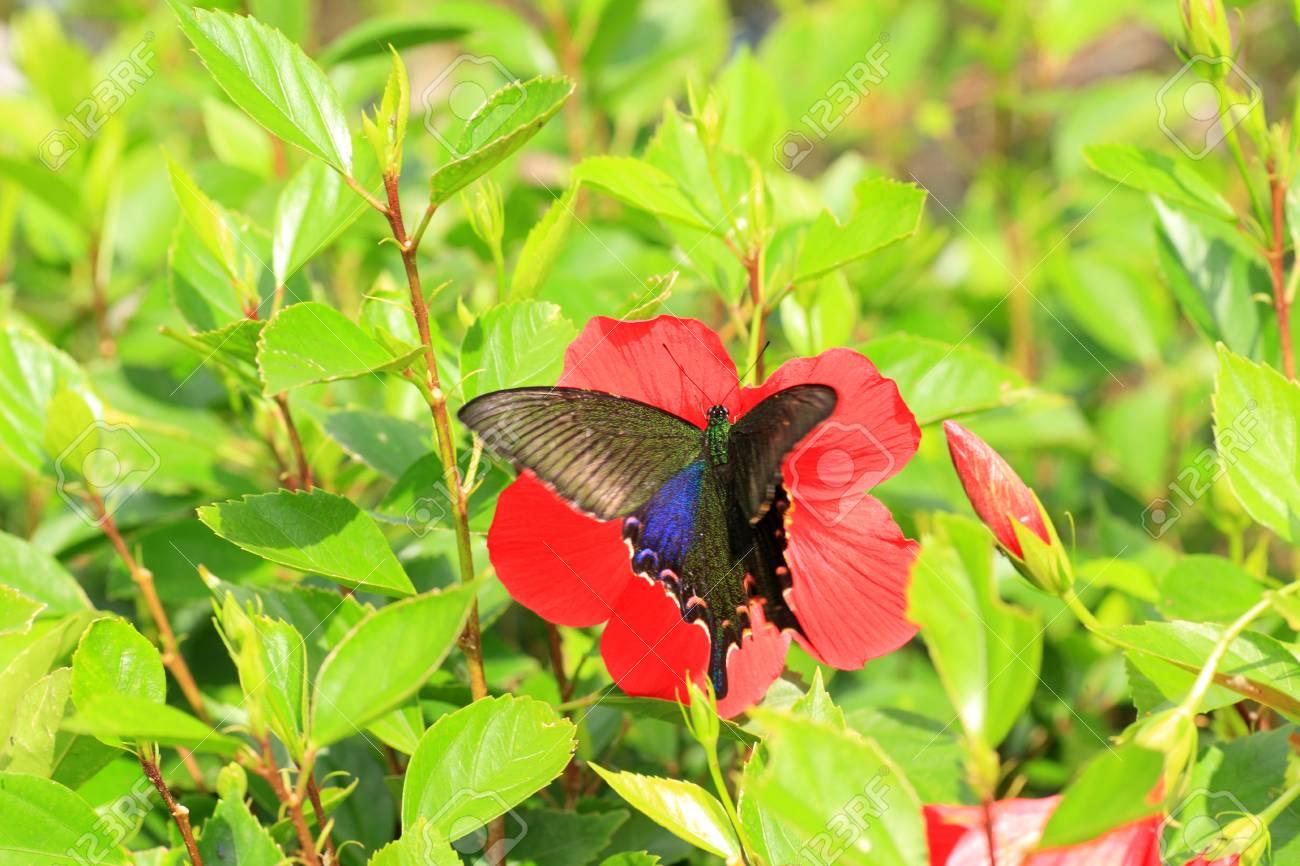 Sưu tập Bộ cánh vẩy 2 - Page 67 23578291-ryukyu-black-peacock-butterfly-papilio-okinawensis-in-japan