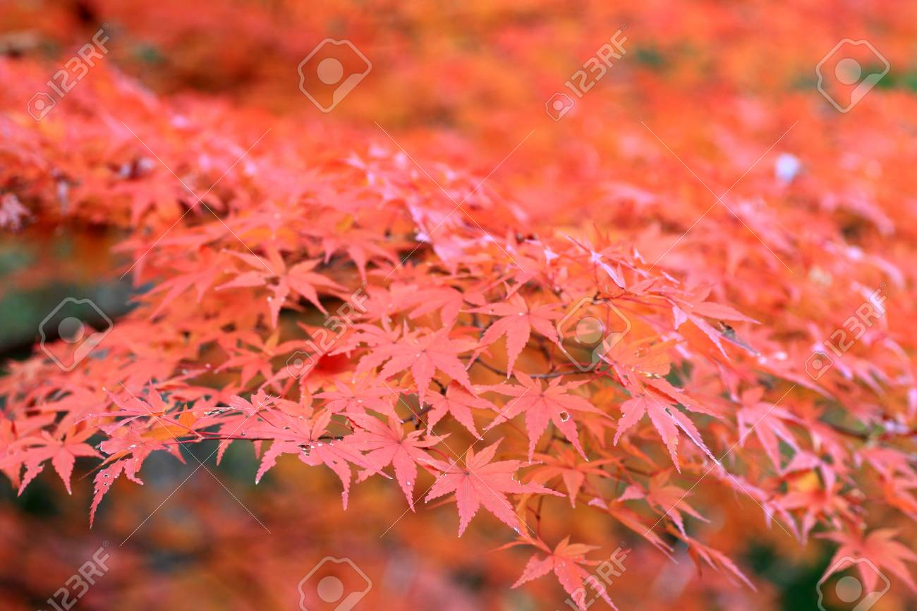 Japanese maple in Japan Stock Photo - 24077869