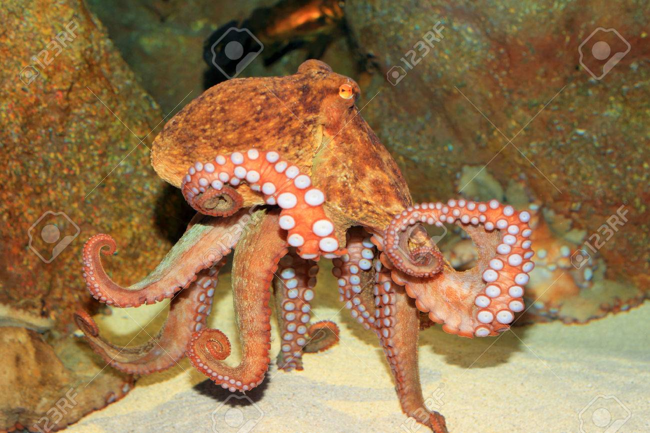 octopus vulgaris images u0026 stock pictures royalty free octopus
