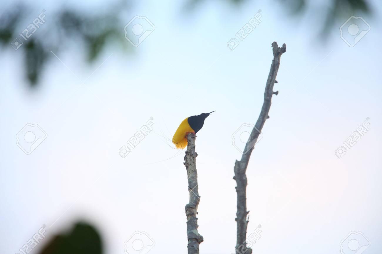 Twelve-wired Bird-of-paradise Seleucidis Melanoleucus In Papua ...