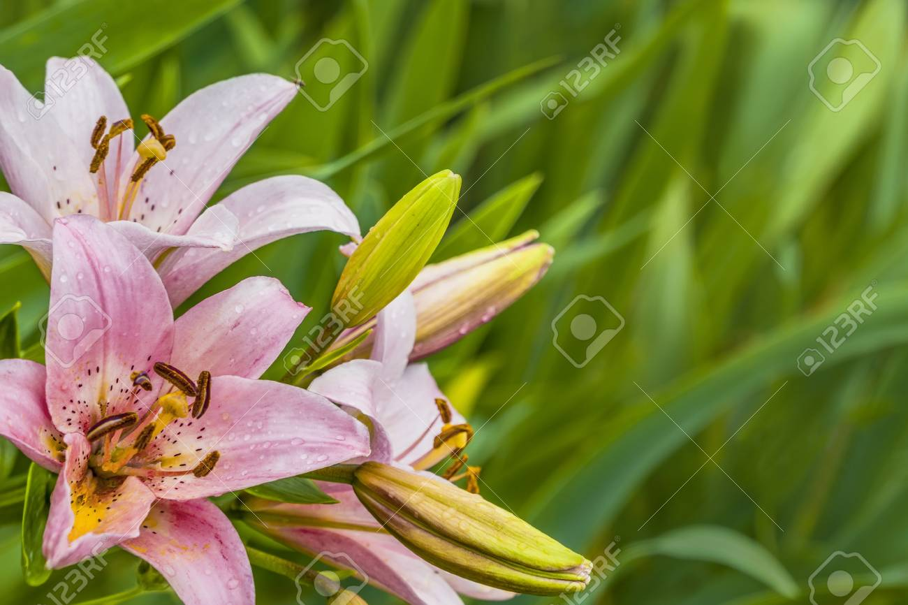 Pink lilies flowers on green background in garden stock photo pink lilies flowers on green background in garden stock photo 83826037 izmirmasajfo