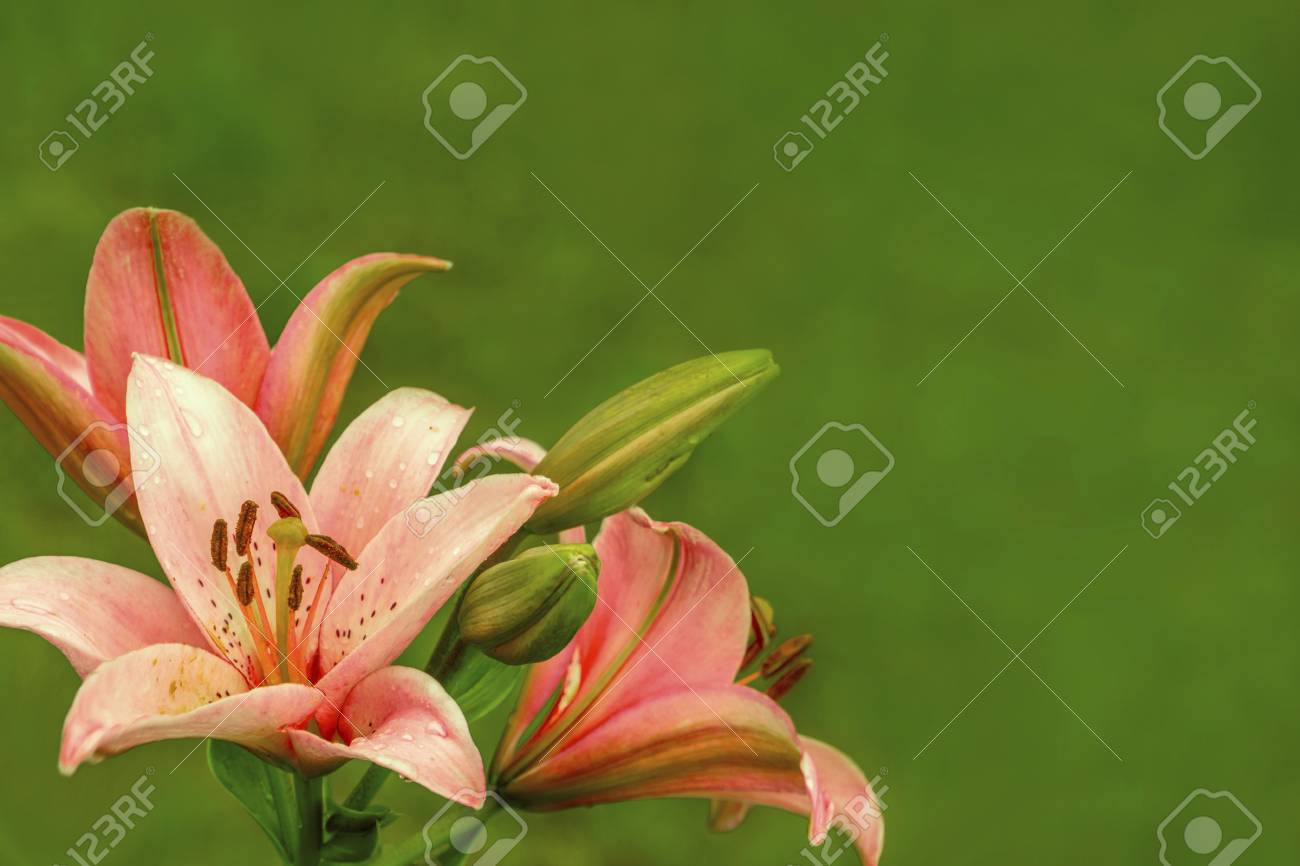 Pink orange lilies flowers on green background stock photo picture pink orange lilies flowers on green background stock photo 83826041 mightylinksfo