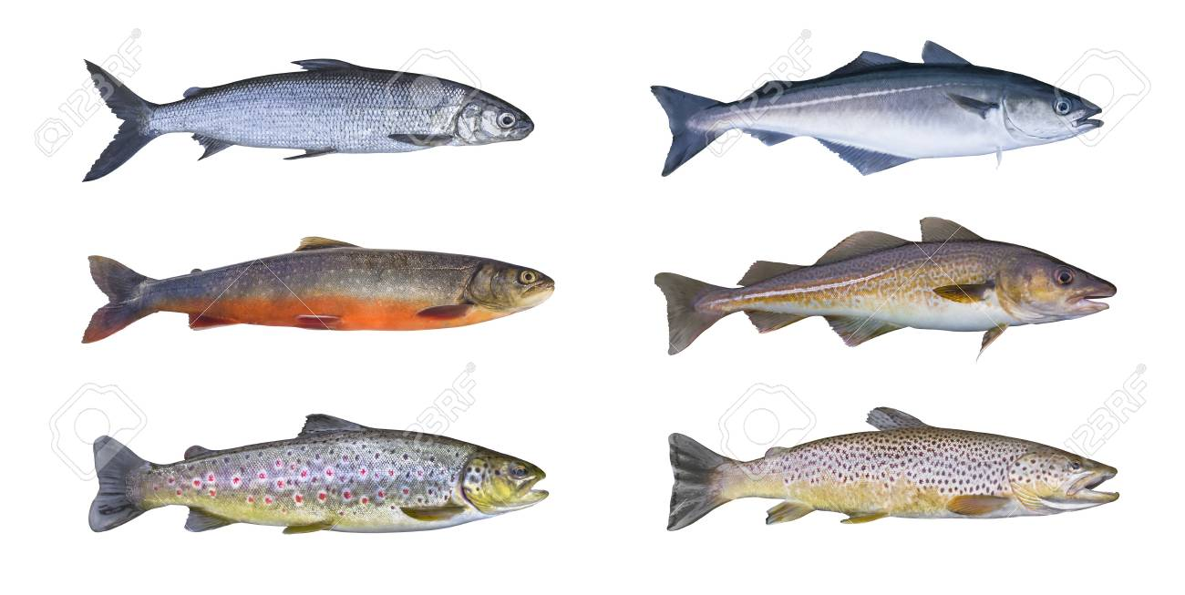 Norway fish set  Whitefish, arctic char, brook brown trout, pollock