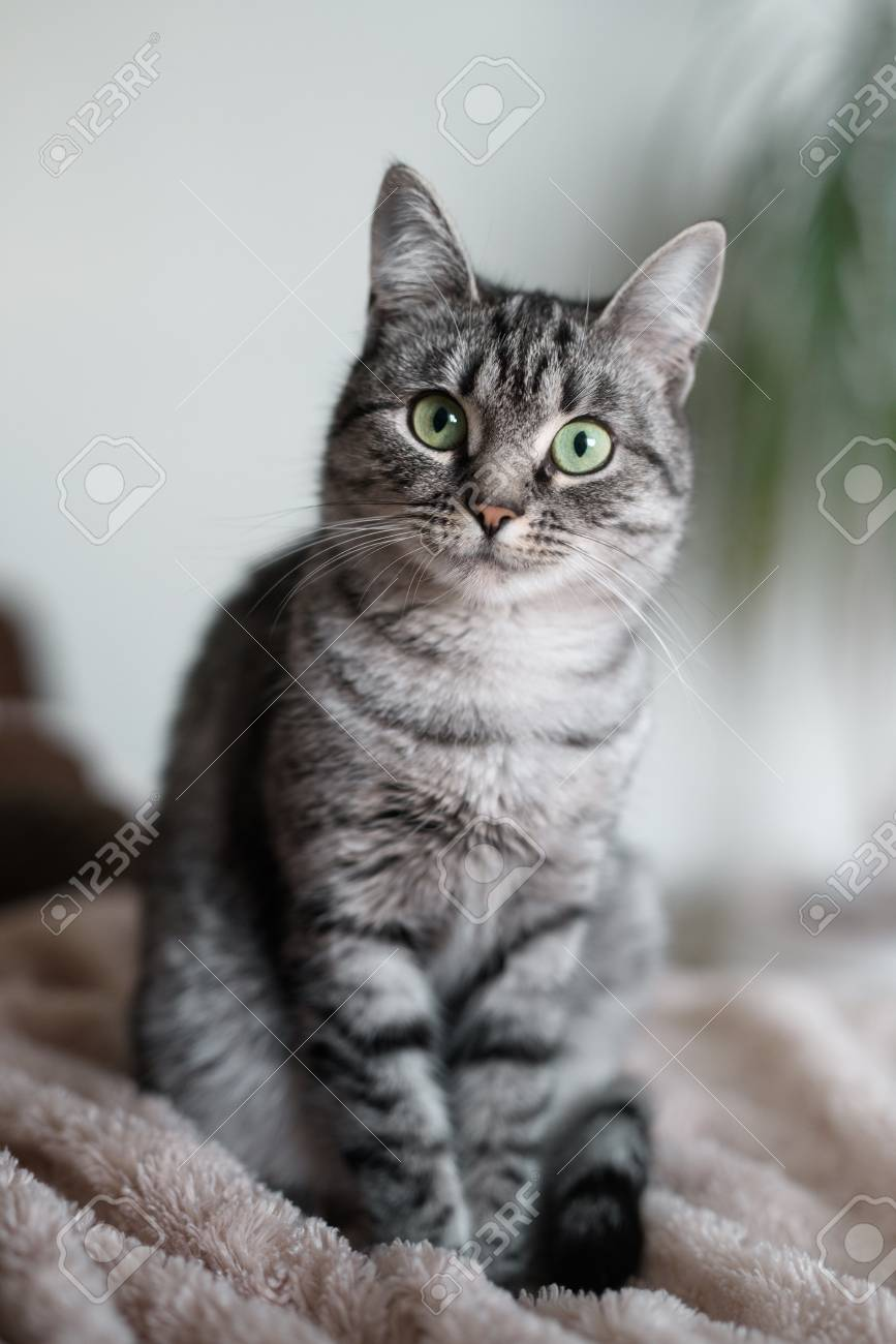 American Shorthair Cat Grey