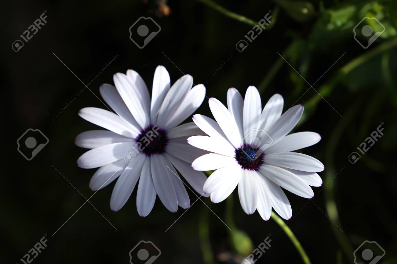 Two White Summer Flowers On A Black Background Stock Photo Picture