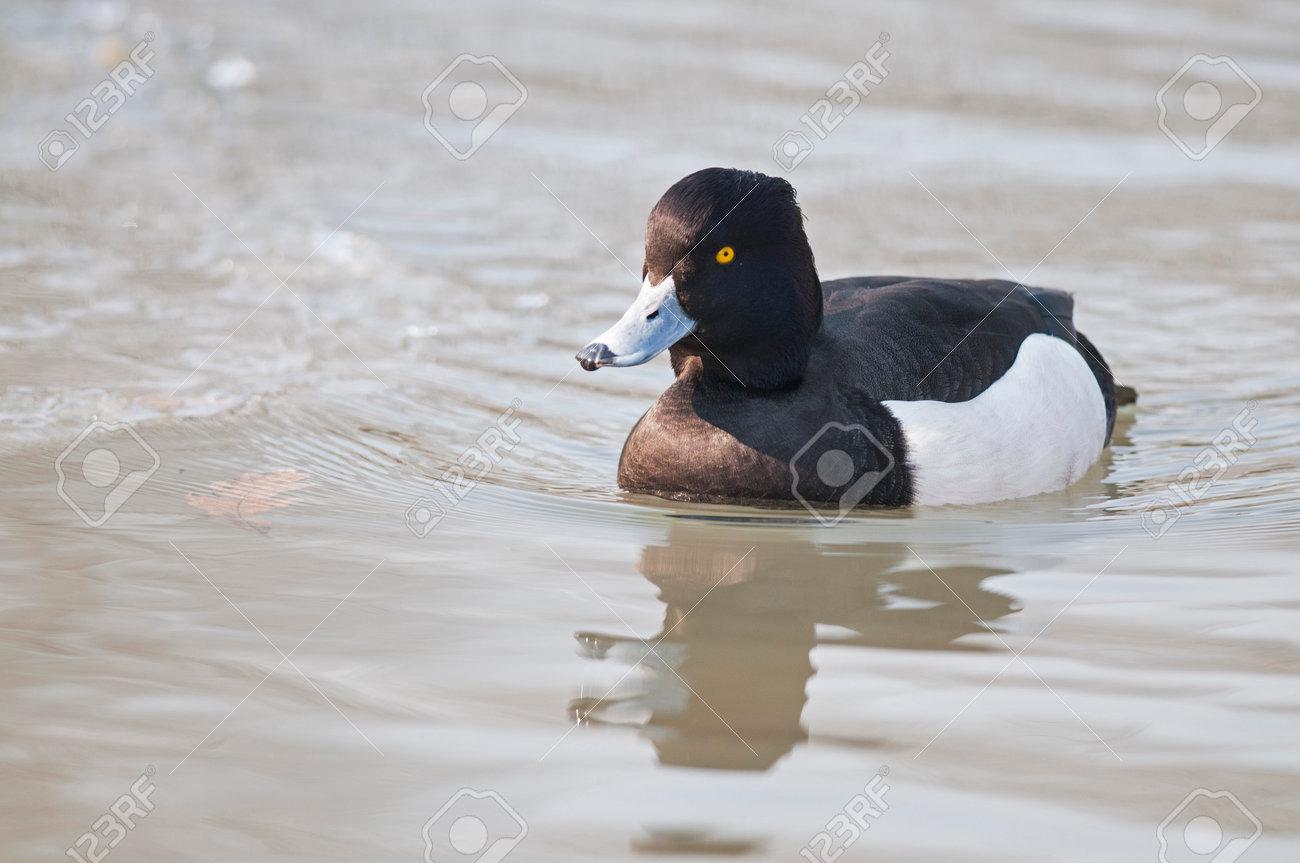 Tufted duck (Aythya fuligula) badly in winter, Italy. - 161440436