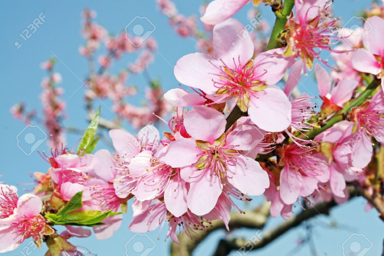 pink peach flowers bloom in spring in the Italian hills Stock Photo - 12367558