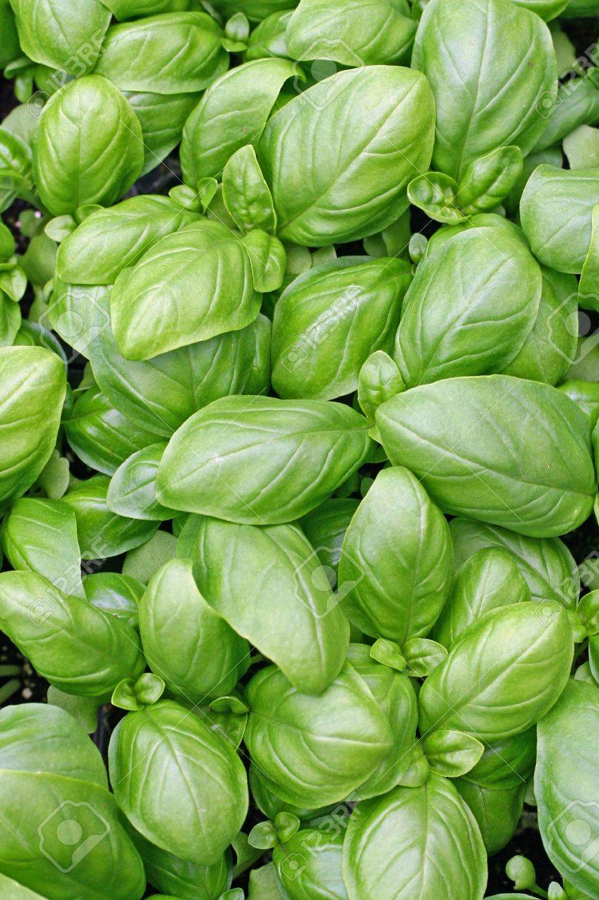 green leaves of fresh basil ready to be used in cooking in Italy Stock Photo - 12869623