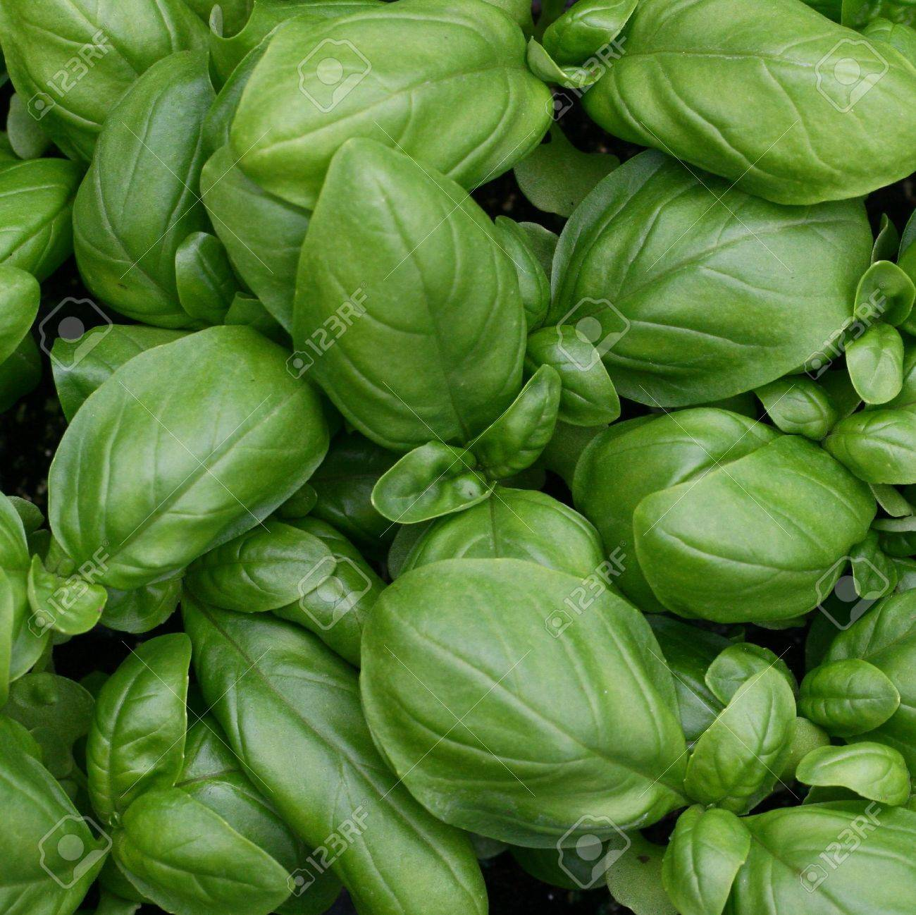 green leaves of fresh basil ready to be used in cooking in Italy - 12869633