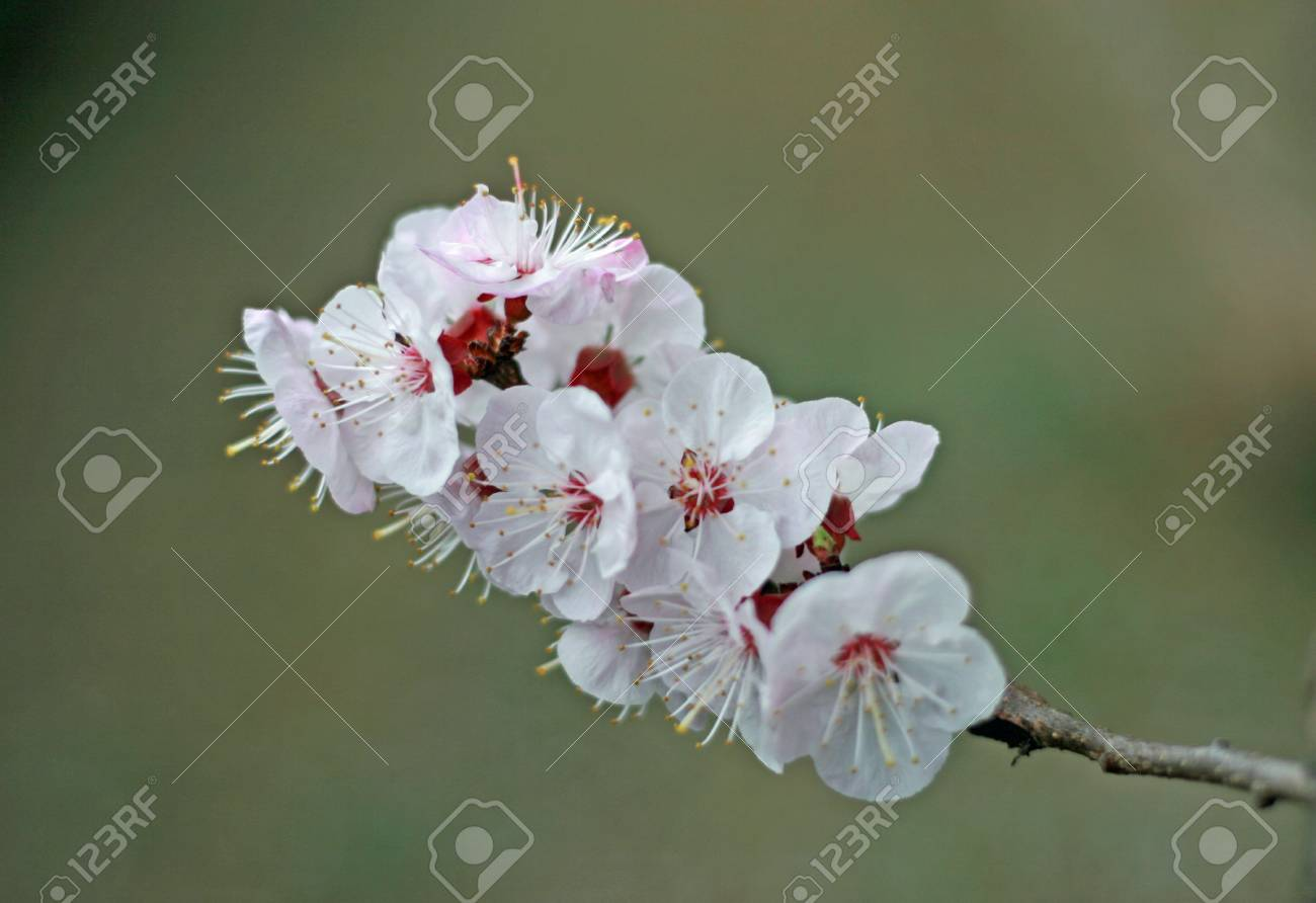 Delicate White Flowers Of An Apricot Tree In Spring Stock Photo