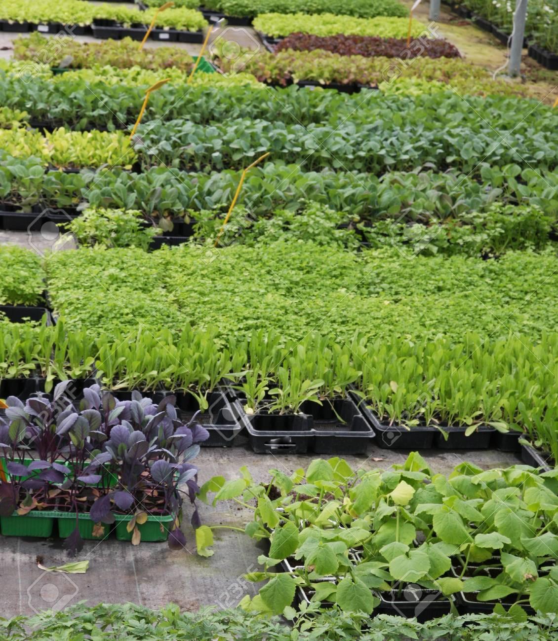 Culture en serre pour les semis à planter sur le jardin et sur les champs
