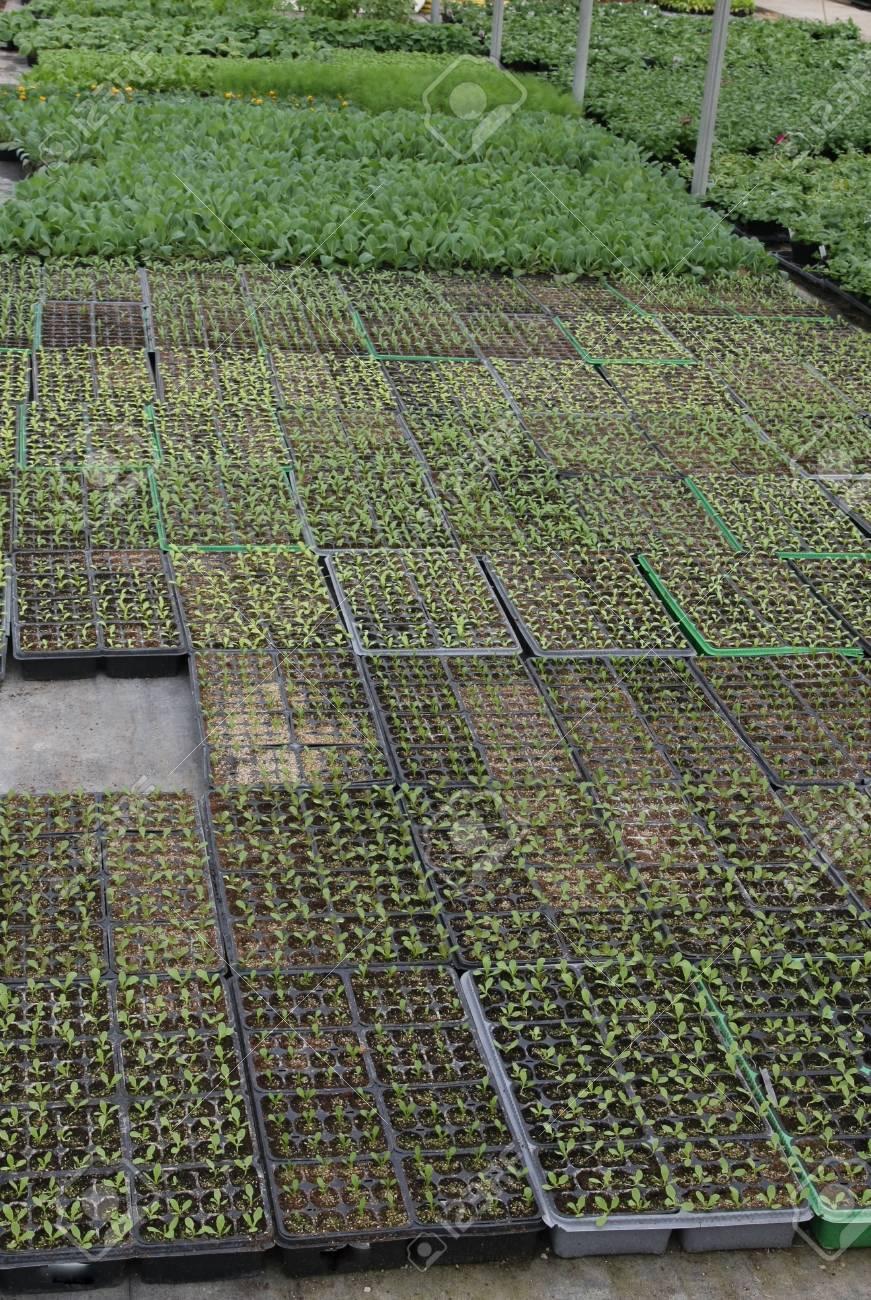 Culture en serre des plants à planter dans le jardin et dans les champs