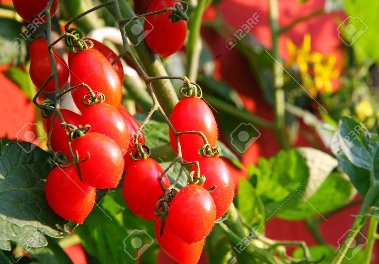 Red cluster tomato plant and the yellow flowers in the background red cluster tomato plant and the yellow flowers in the background stock photo 20191745 mightylinksfo