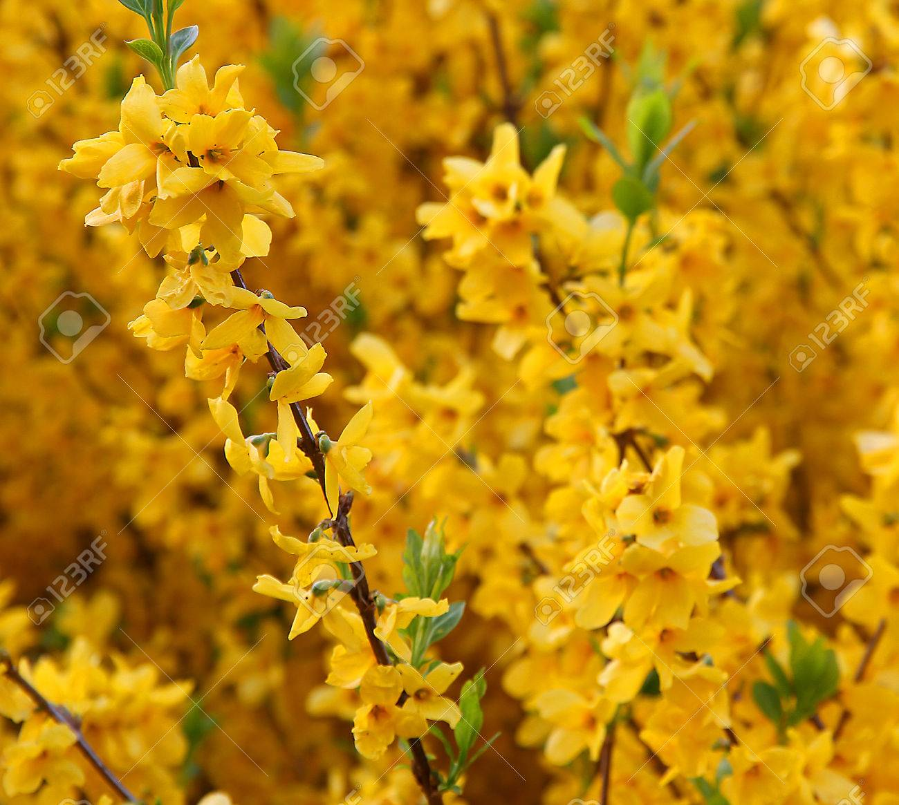 branch with yellow forsythia blooming flowers in spring stock, Beautiful flower