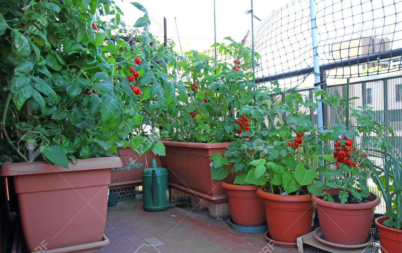 Outstanding Many Potted Red Tomato Plants On The Terrace Of The House In Largest Home Design Picture Inspirations Pitcheantrous