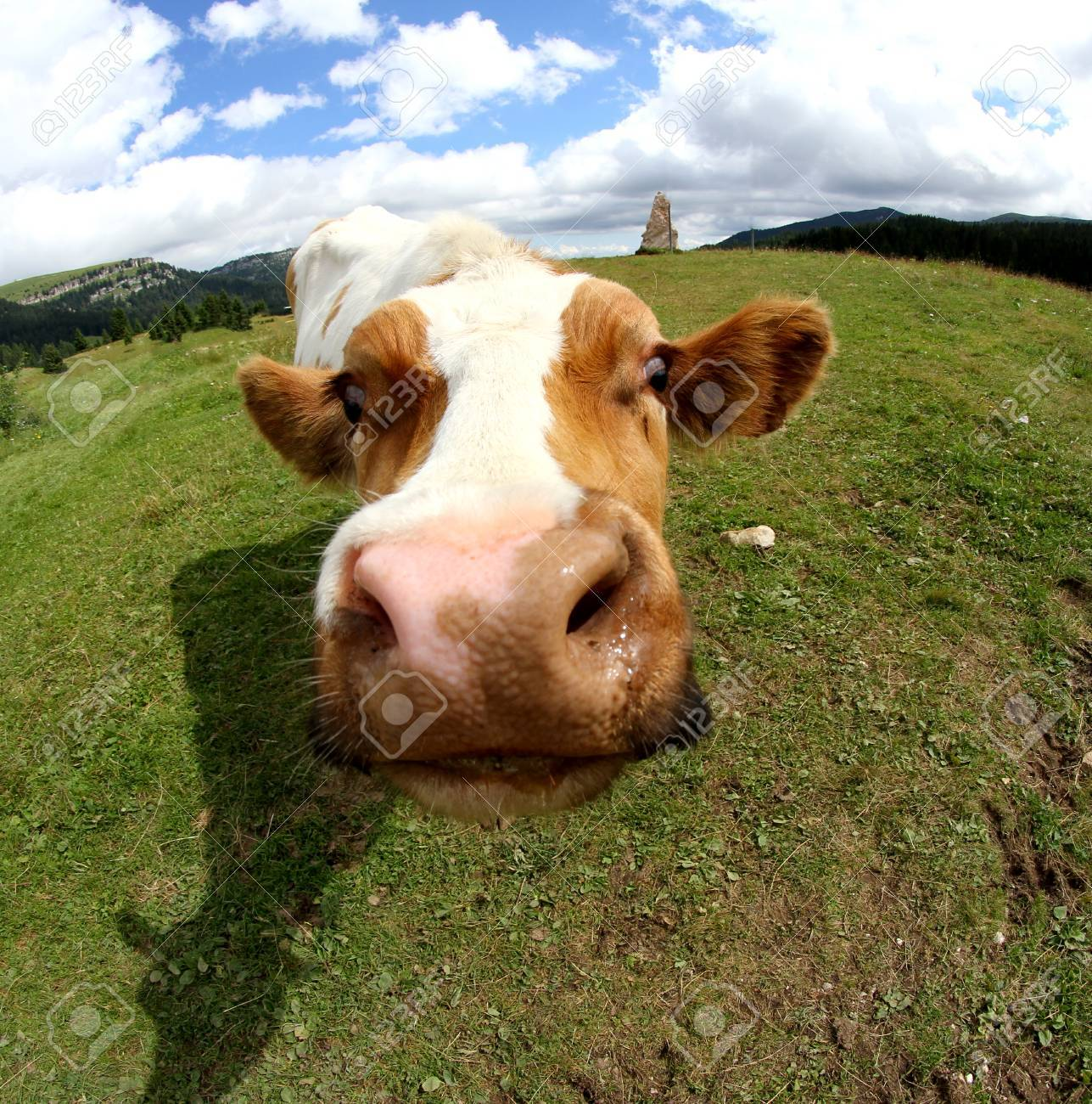 funny cow muzzle photographed with fisheye lens from very close