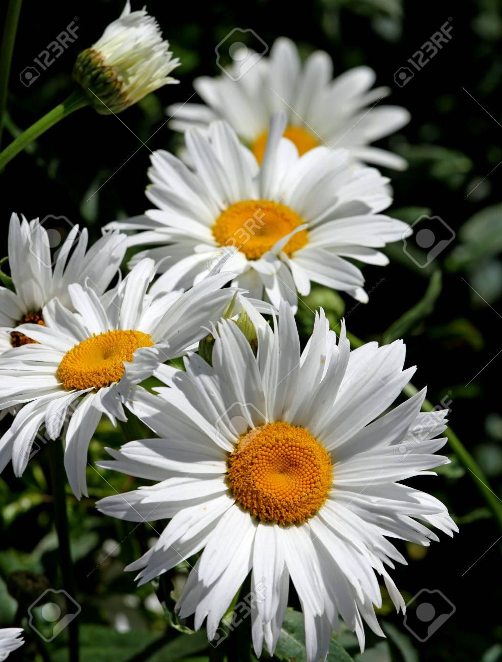 Large white flower daisies with pure white petals and yellow stock large white flower daisies with pure white petals and yellow corolla stock photo 32621274 izmirmasajfo