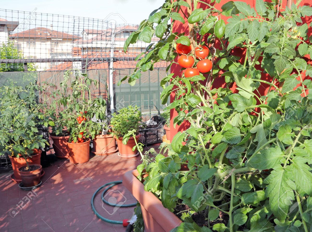 Planter Des Tomates En Pot pots in the balcony garden with tomato plants in the house