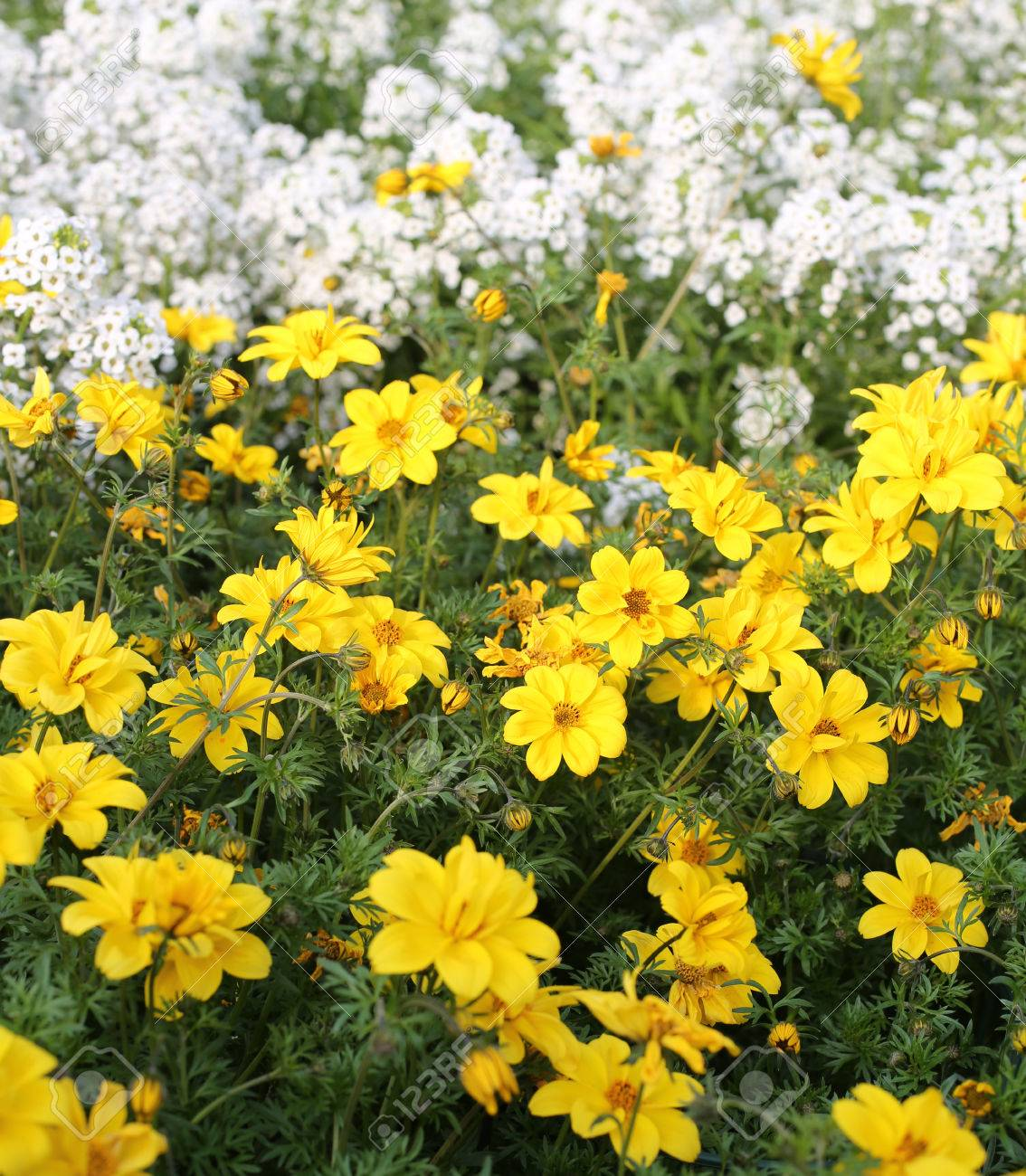 Large field of yellow flowers called bidens in spring large field of yellow flowers called bidens in spring stock photo 40134297 mightylinksfo