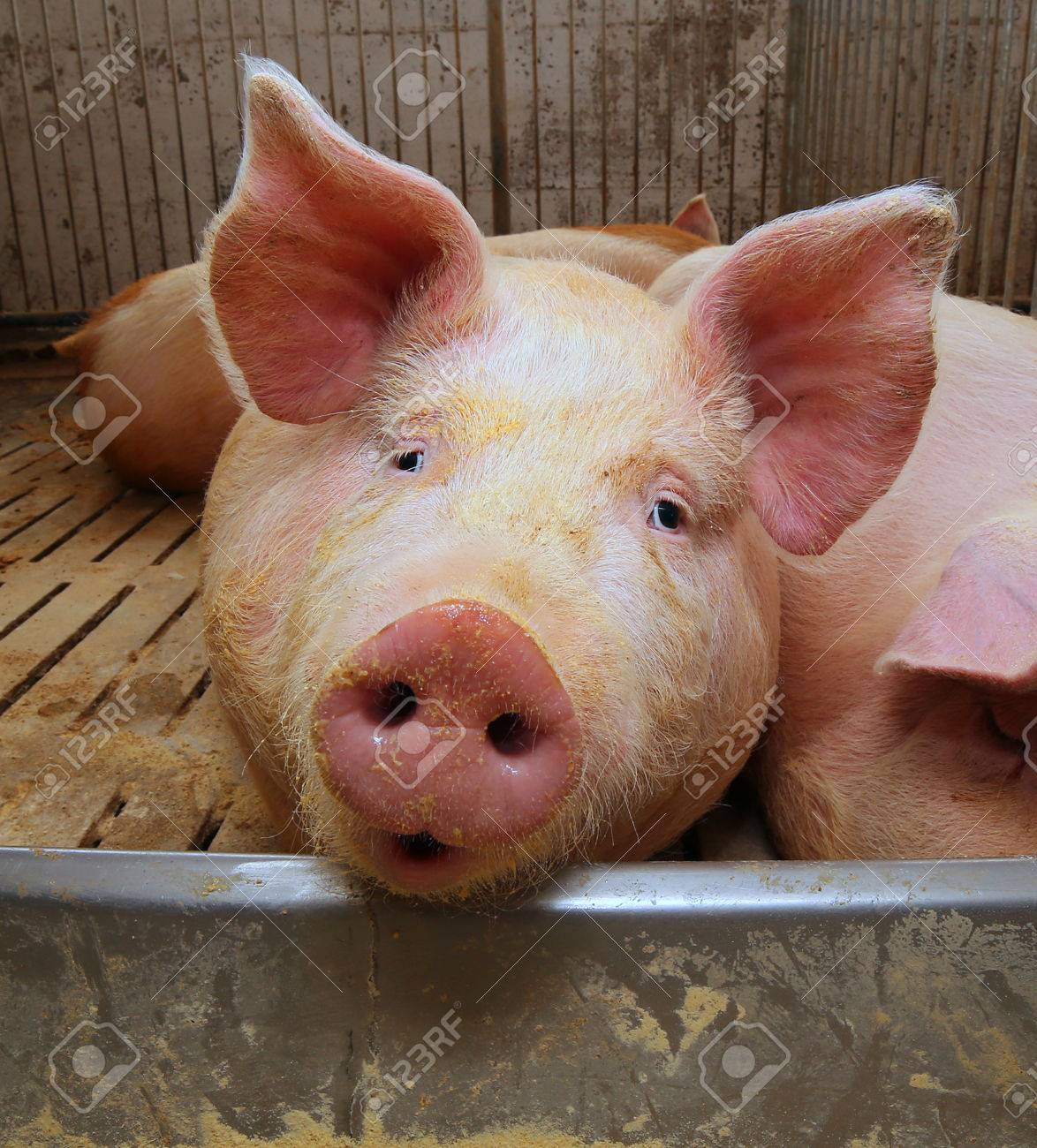 big and fat pigs in a sty on a farm stock photo 58553013