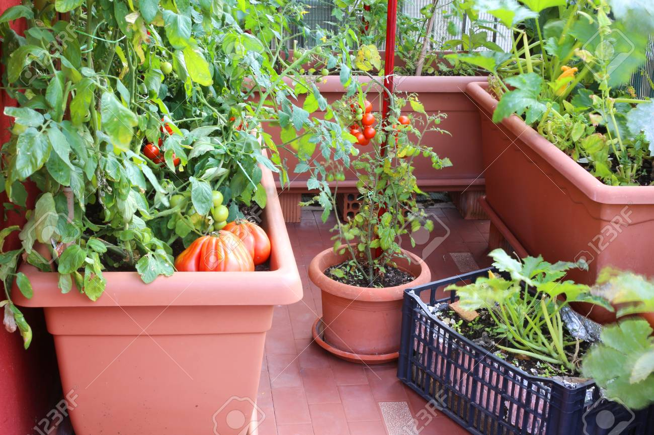 Planter Des Tomates En Pot plants of red tomatoes and zucchini in the big pots of an urban..