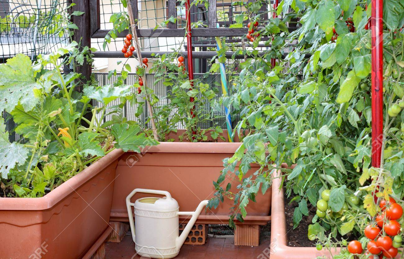 Planter Des Tomates En Pot watering can and large pots with plants of red tomatoes in a..