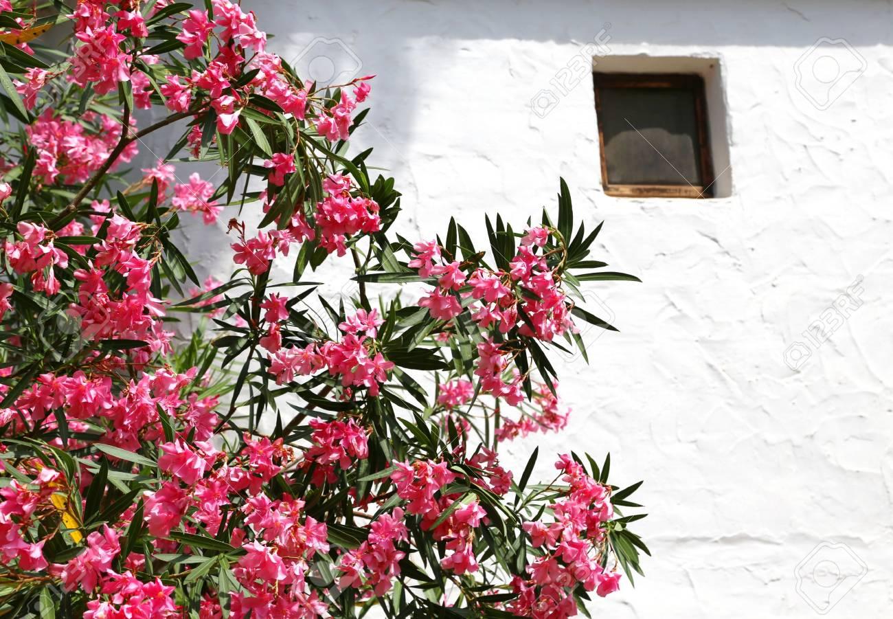 Belle Fleur De Laurier Rose Dans Le Jardin De La Maison Blanche