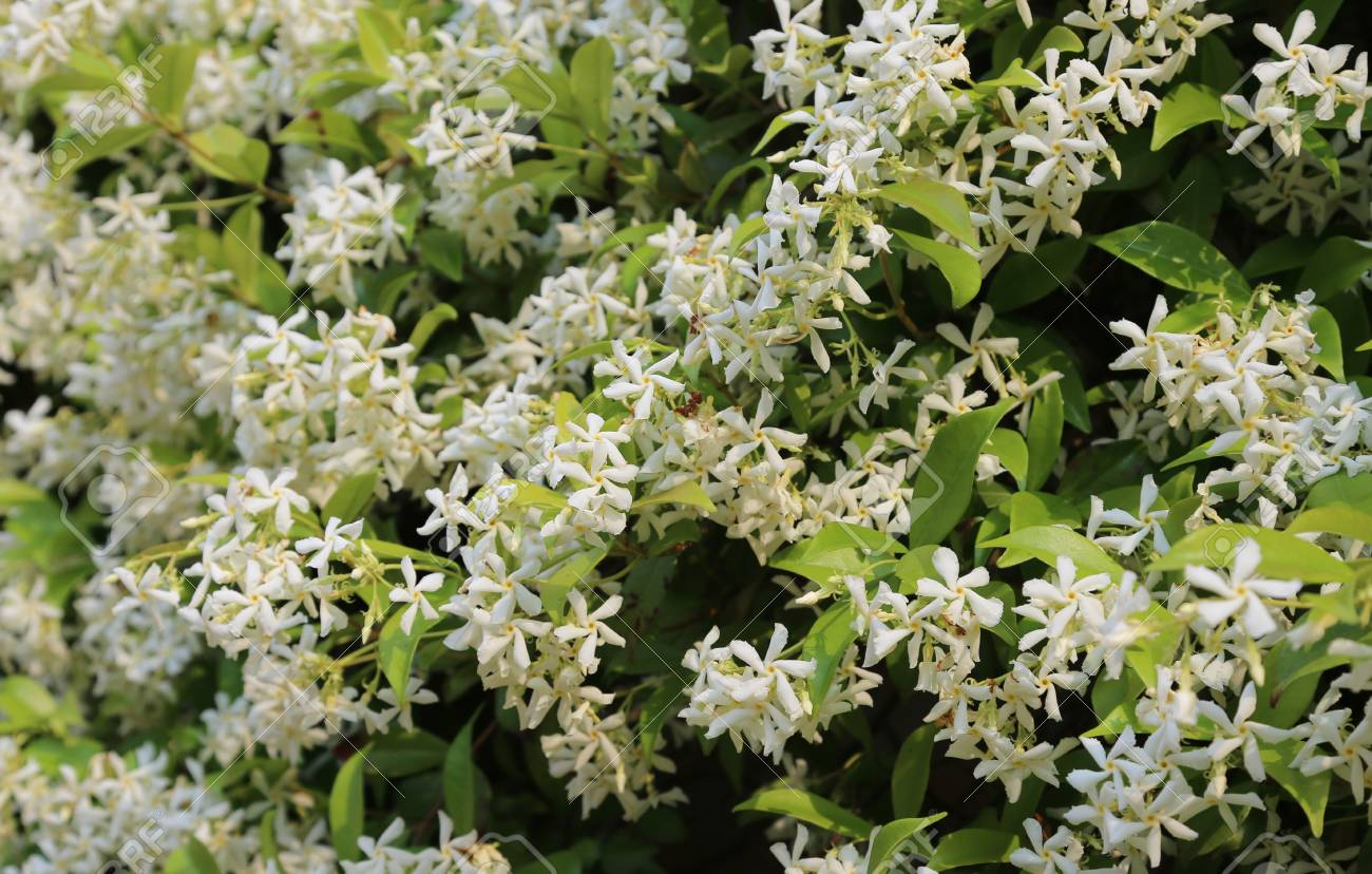 Jasmine Plant With Many Very Fragrant White Flowers In Spring Stock