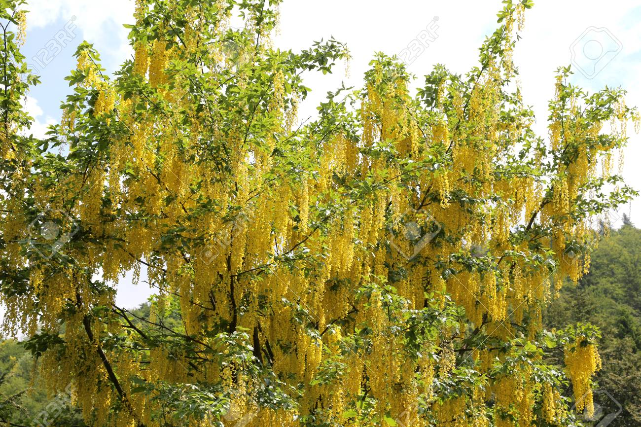 Amazing big tree laburnum also called golden chain or golden stock amazing big tree laburnum also called golden chain or golden rain with yellow flowers stock photo mightylinksfo