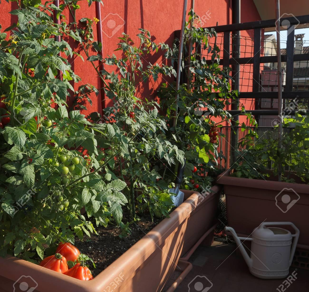 Cultivo De Tomate En Los Jarrones De Un Jardín Urbano En La Terraza De La Ciudad
