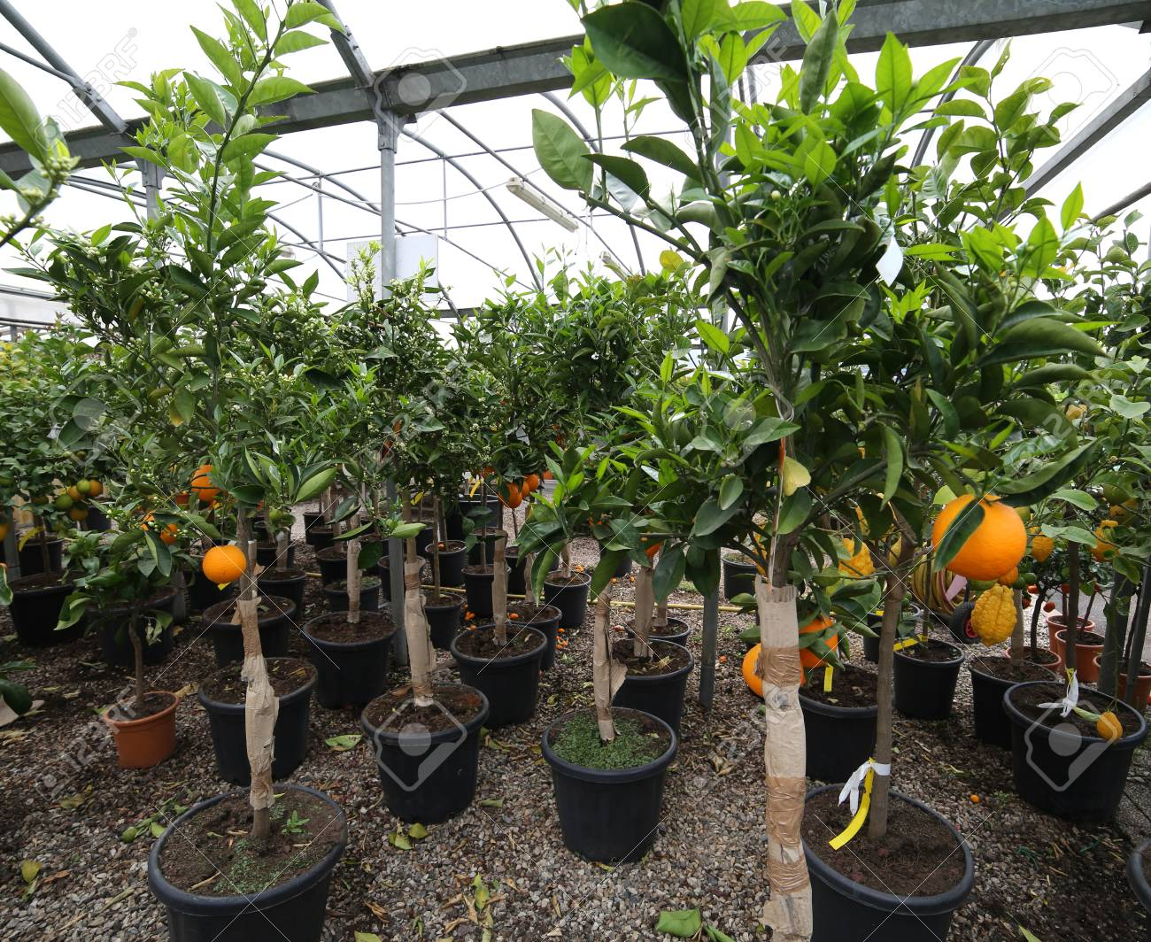 Many Fruit Trees With Clementine And Orange For Sale In The Tree