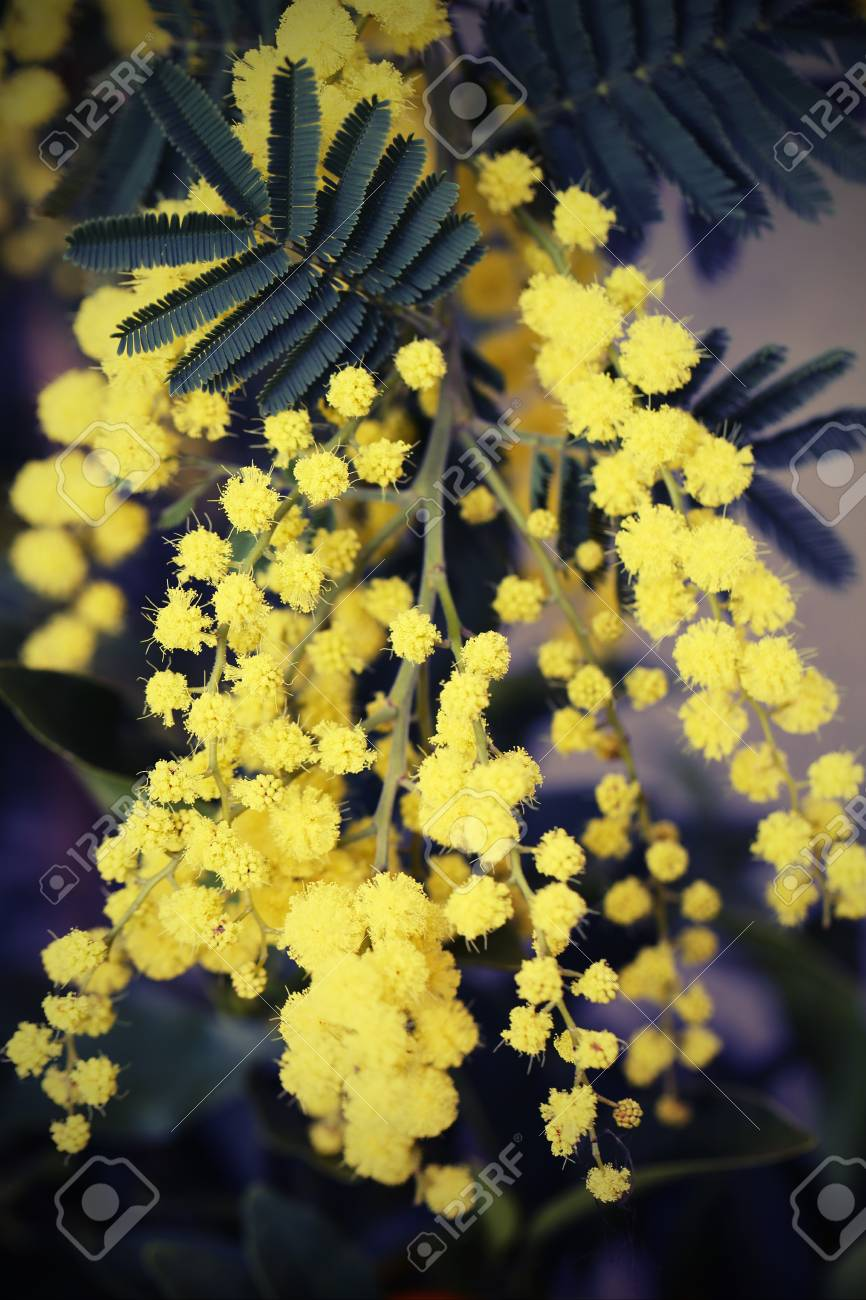 Yellow Mimosa Flowers On The Plant In March Stock Photo Picture And