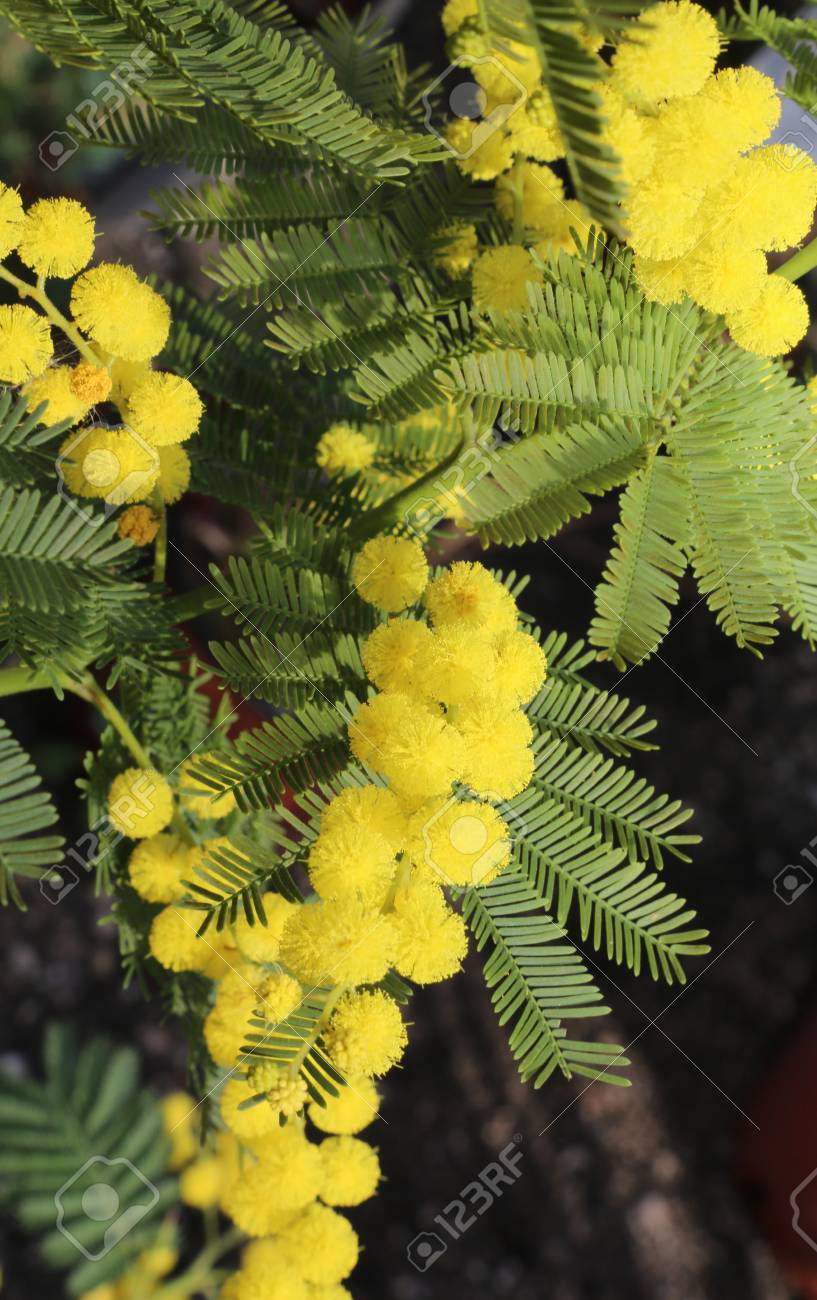 Mimosa yellow flowers symbol of womens day stock photo picture and mimosa yellow flowers symbol of womens day stock photo 101154930 mightylinksfo