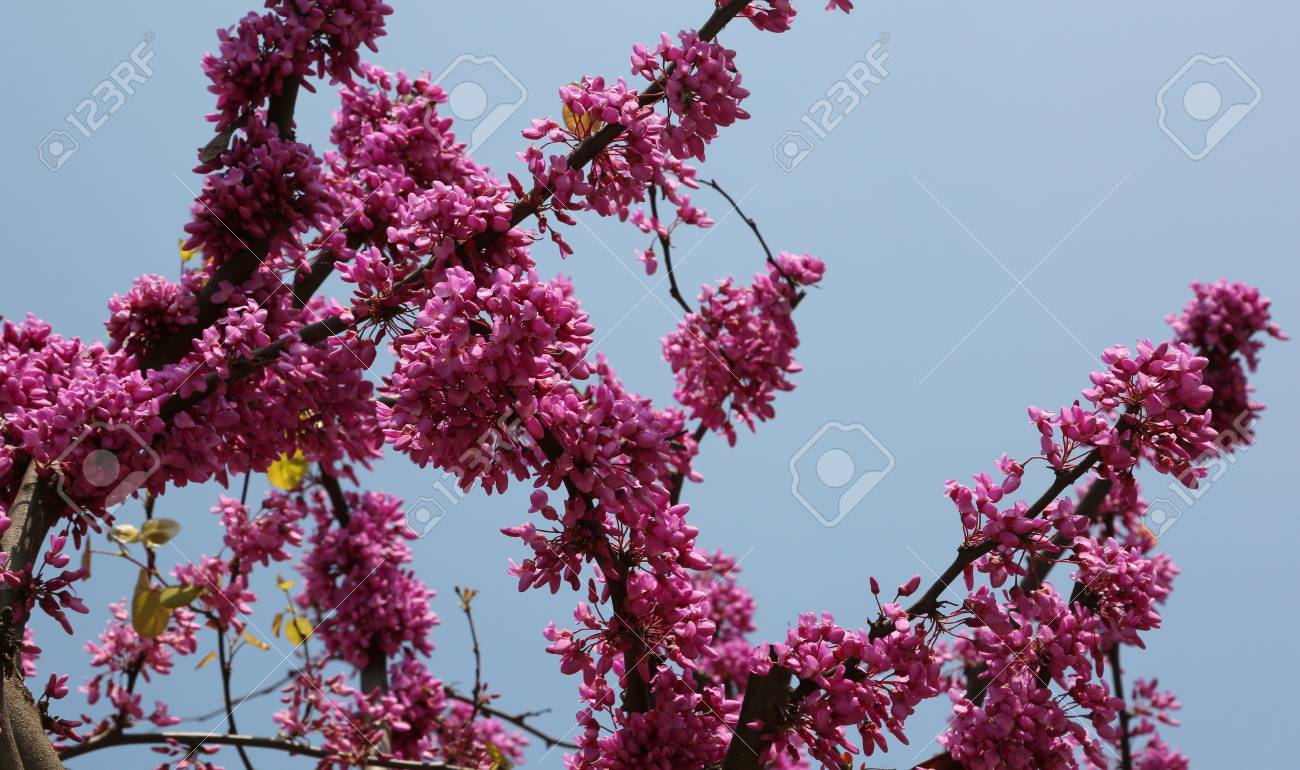 Pink Flowers Bloomed In Spring On A Cercis Tree In A Garden Stock