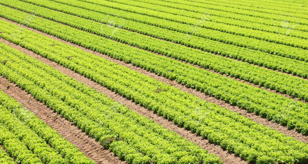 cultivated green lettuce field in an intensive farming plantation