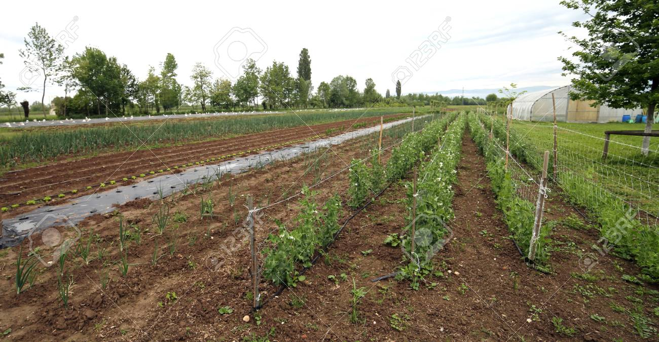 Large Outdoor Vegetable Garden With The Cultivation Of Tomatoes ...