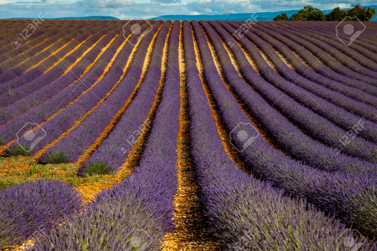 Lavender fields near Valensole, Provence, France - 157829864