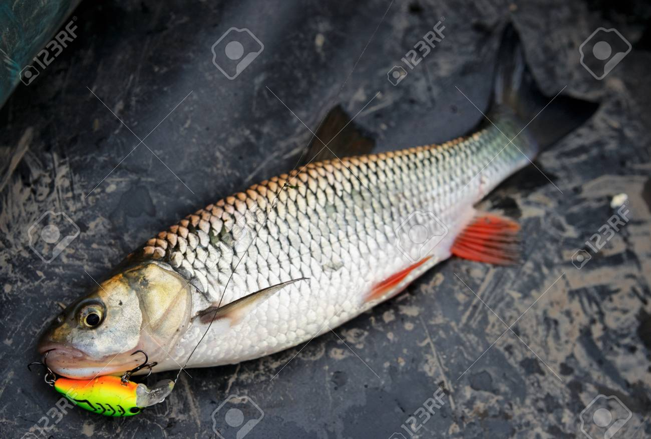 Chub caught on plastic lure lying in boat Stock Photo - 15149573