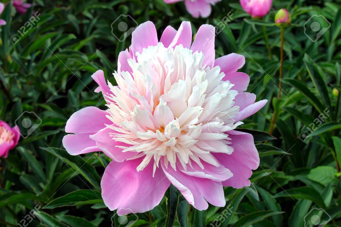 Pink And White Peony Flower The Latin Name Paeoniaceae On A