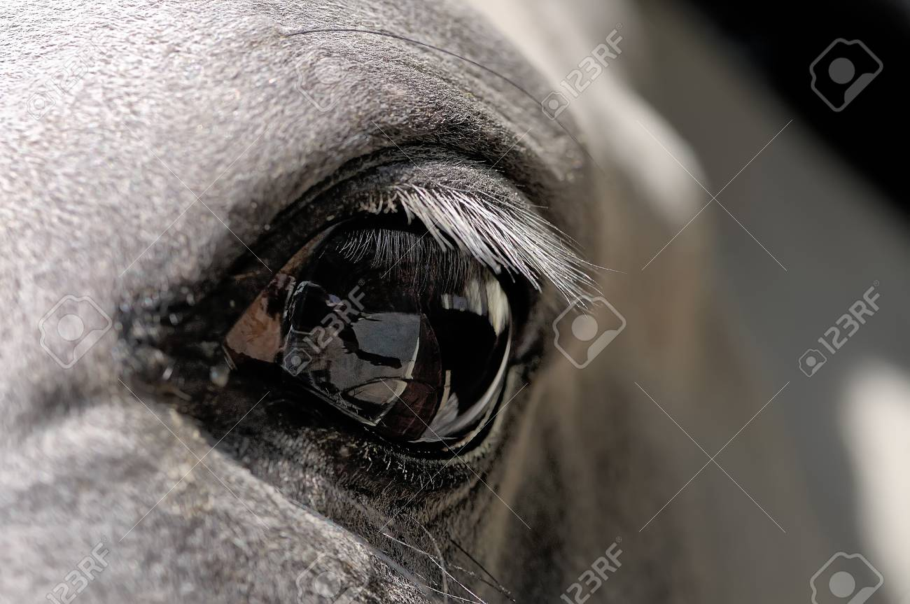 Eye Of A White Horse Close Up Stock Photo Picture And Royalty Free Image Image 68959920