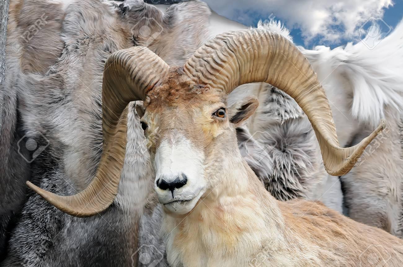 The Stuffed Head Of A Wild Mountain Bighorn Sheep Ammon In Latin