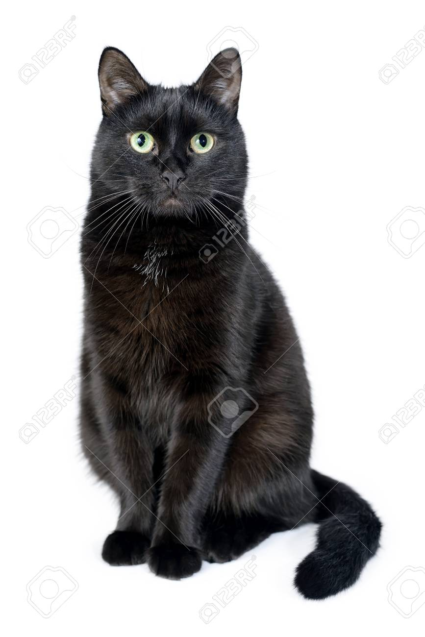Portrait Of A Young Black Cat Sitting On A White Background Looking Stock Photo Picture And Royalty Free Image Image 107582176