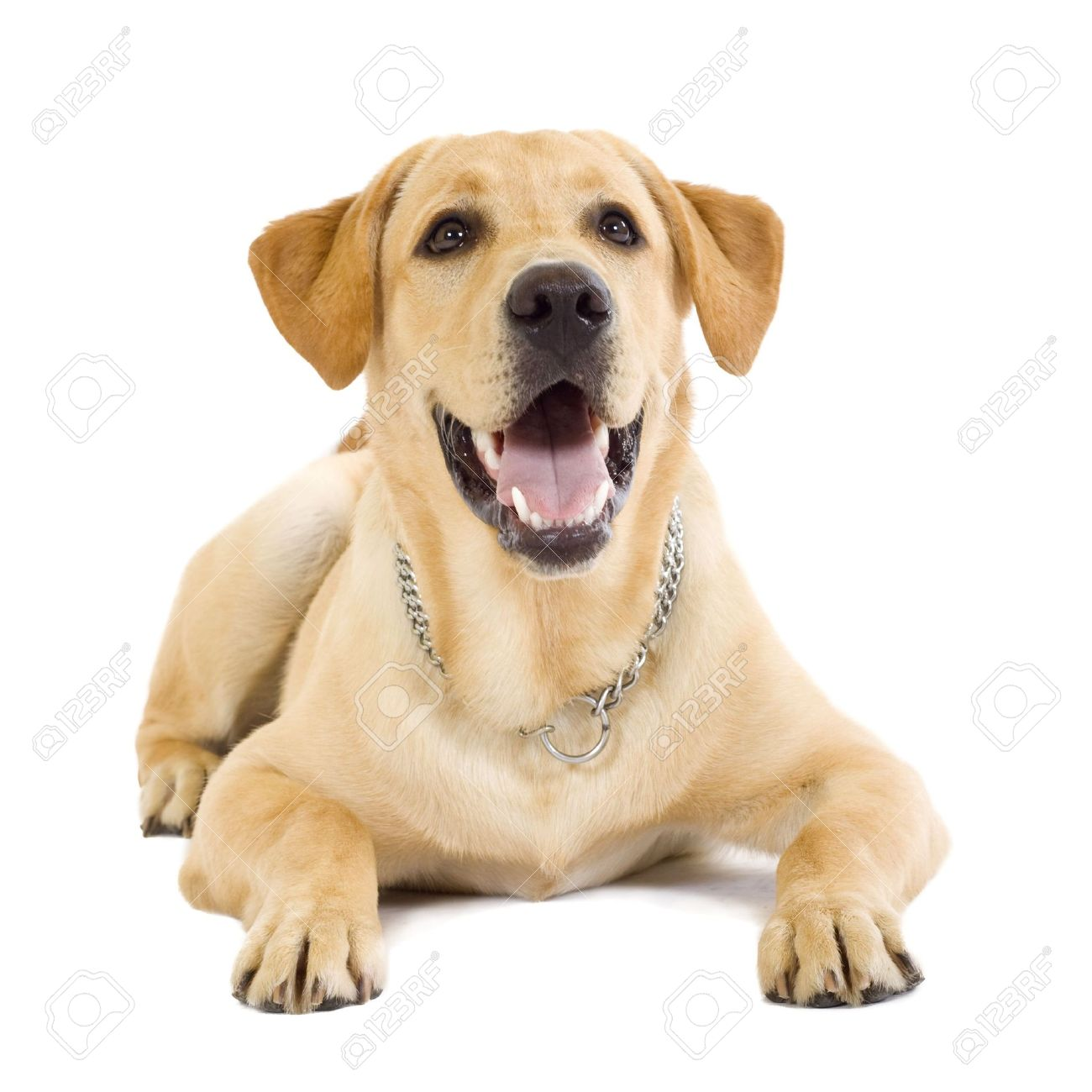 seated Puppy Labrador retriever cream in front of white background Stock Photo - 5951099